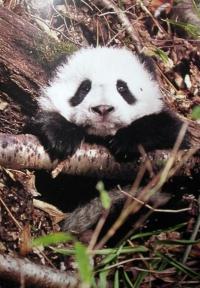 Xi Wang cucciola